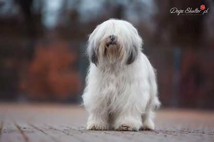 Polish Lowland Sheepdog (PON)