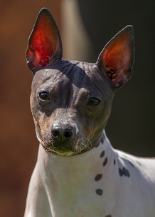 American Hairless Terrier (AHT)